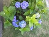 塗装工事の足場の横できれいに咲いています